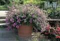 Blütenmeer - Balkon- und Terrassenpflanzen